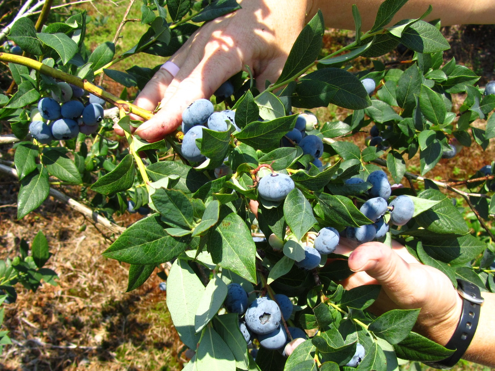 Blueberries for the Home Gardener